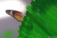 New Lacewing (Cethosia cyane)